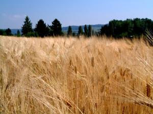 campo grano