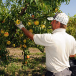 azienda agricola santamaria tursi (6)