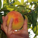 azienda agricola santamaria tursi (7)