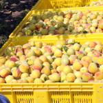 azienda agricola santamaria tursi (8)