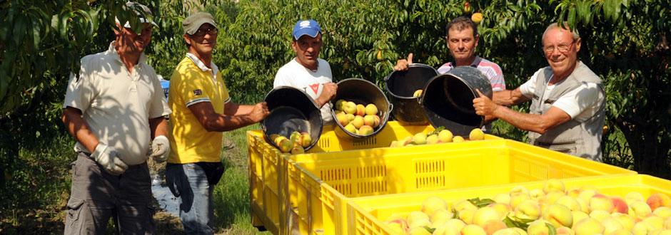 raccolta-percoco-1-azienda-agricola-santamaria-tursi